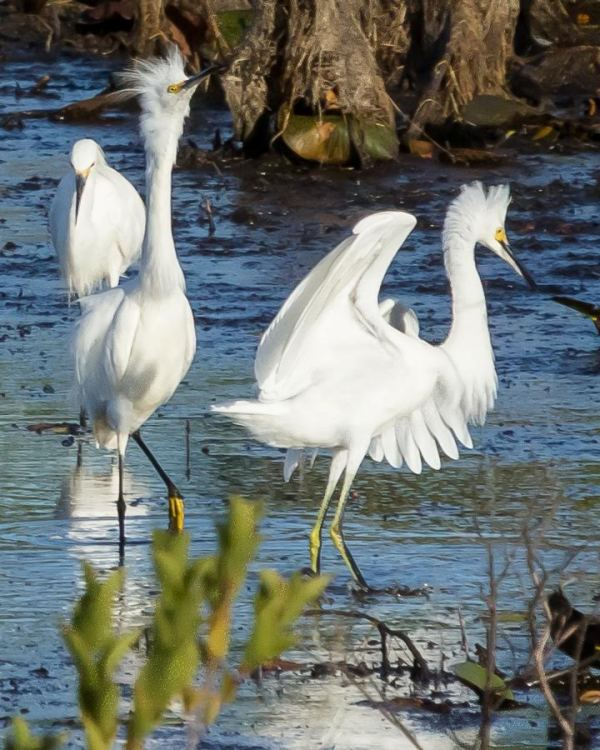 This photo and next, dancing flapping Snow Egrets with their yellow feet.