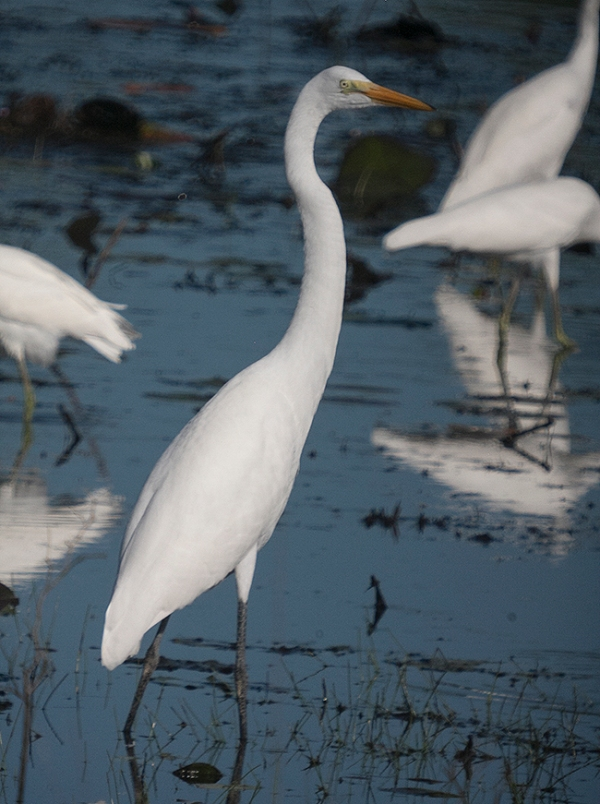 Great Egret waiting patiently and posing for portrait.