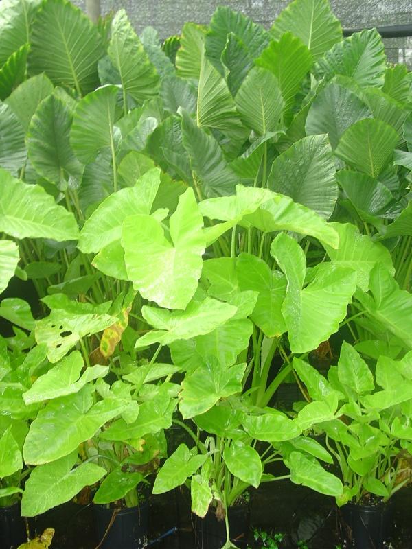 Xanthosoma 'Lime Zinger' in garden