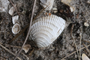 Chione shells are the vast majority around my house.