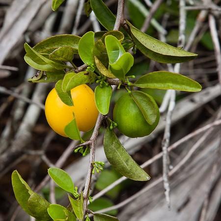 The orange ripe fruits, in season now (by John Bradford).