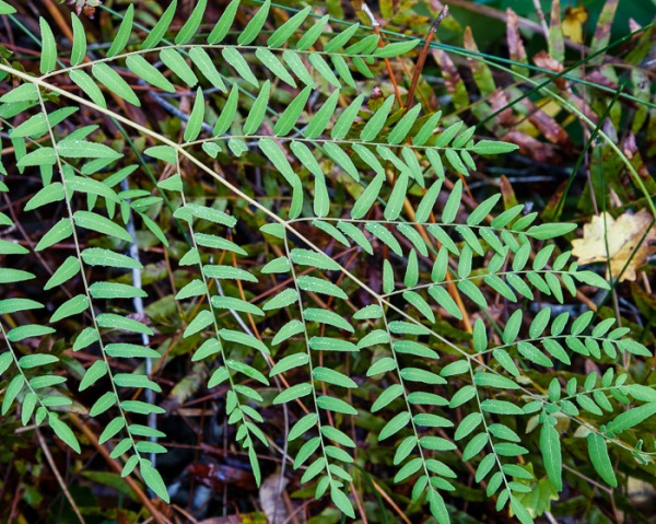 This Royal Fern has a twice-compound leaf. Only one leaf is in this photo. It is
