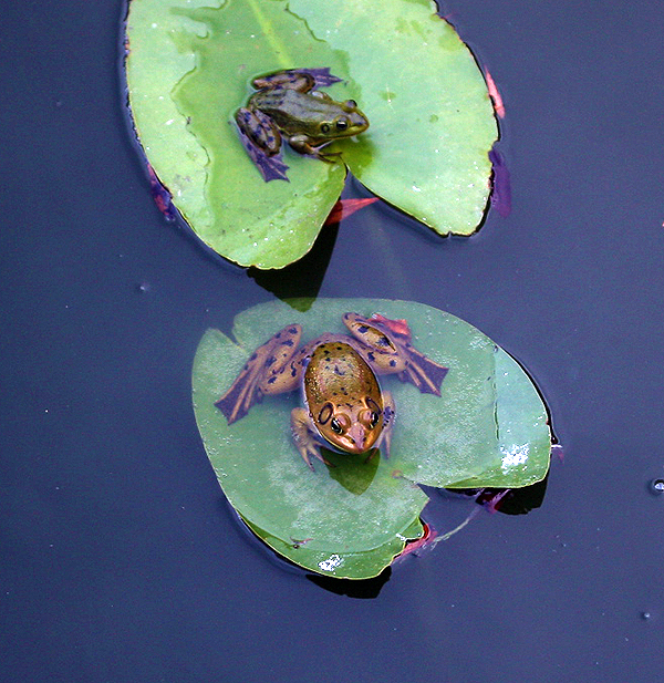 frogs on nuphar