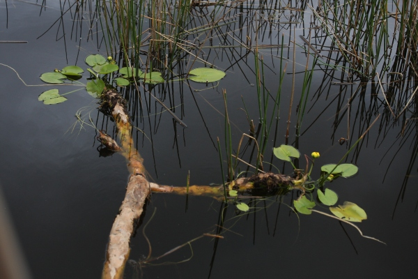 Spatterdock rhizome floating