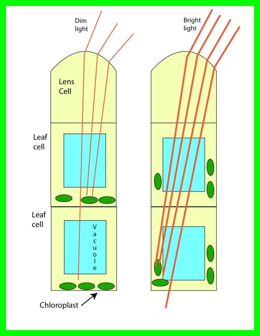 chloroplast orientation