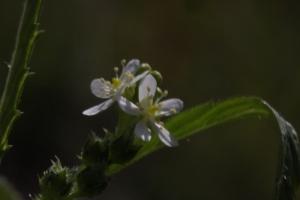 Showy male flowers.