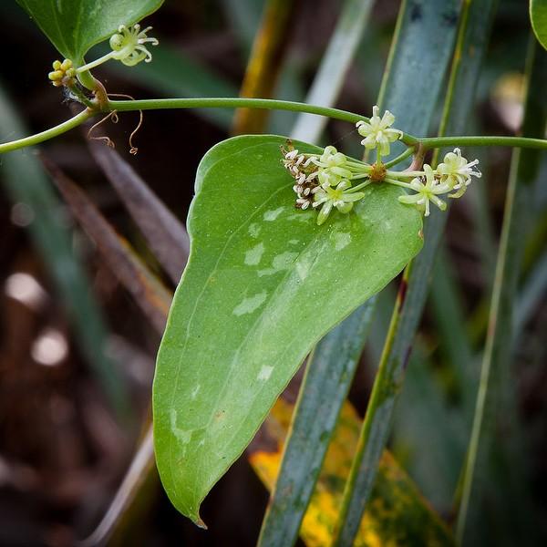 Smilax auriculata jb