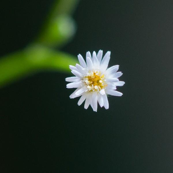 conyza flower