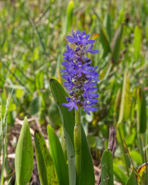 pontederia cordata close