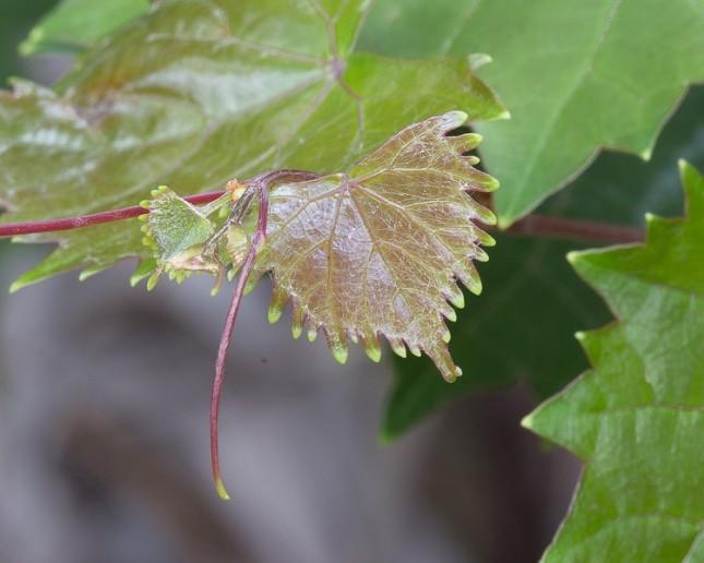 Vitis rotundifolia babies