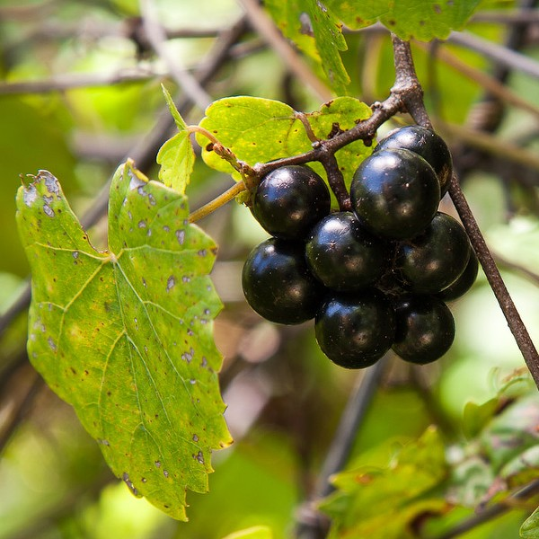 vitis rotundifolia fruits