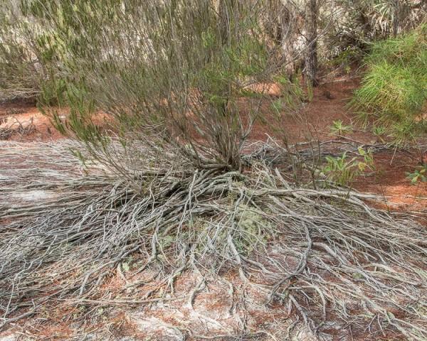 ceratiola roots