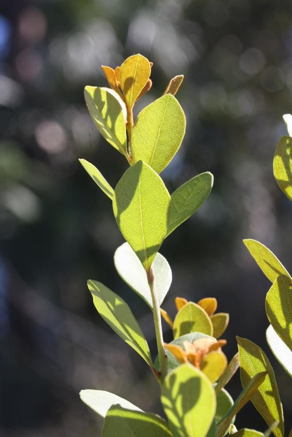 Lyonia vertical