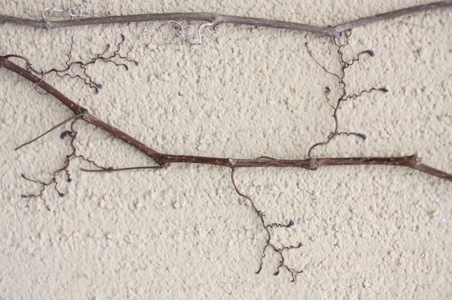 Tendrils medium Parthenocissus