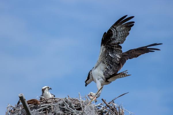 borrichia osprey jb