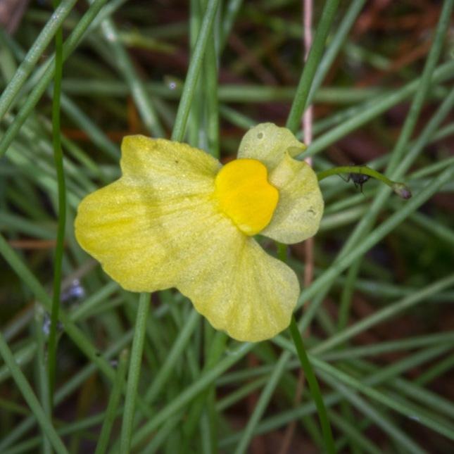 Utricularia subulata 3