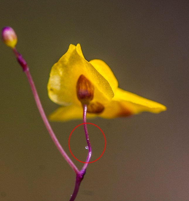 utricularia subulata stem gland