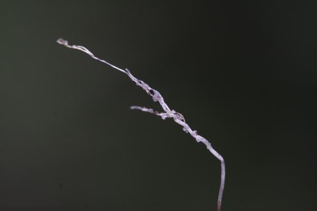 Utricularia underground