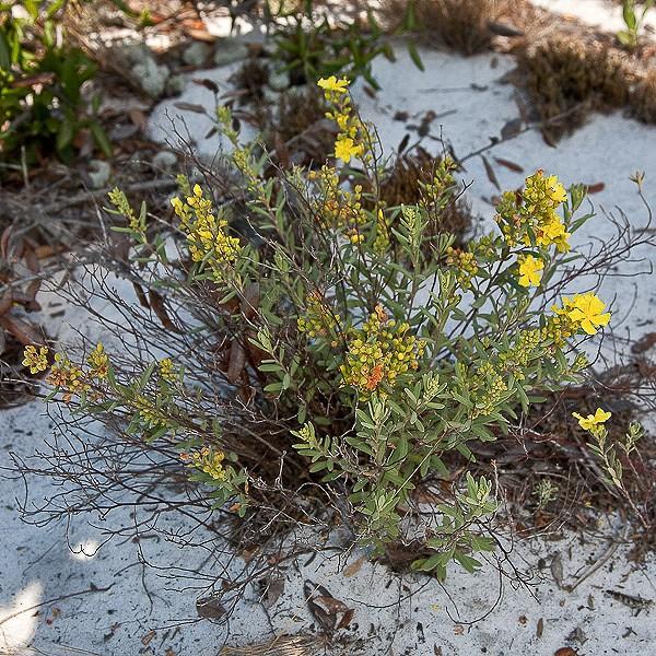 helianthemum nashii far