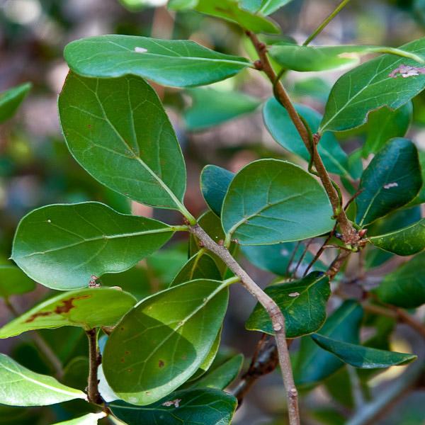 Quercus myrtifolia 4