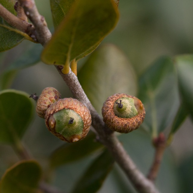 Quercus myrtifolia 6