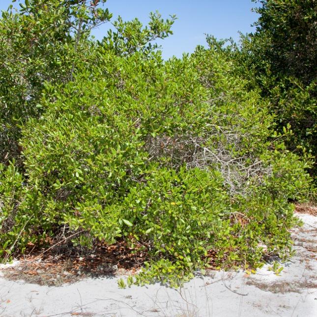 Quercus myrtifolia 7