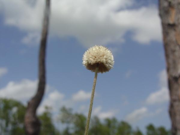 Syngonanthus flavidulus 1 - Copy