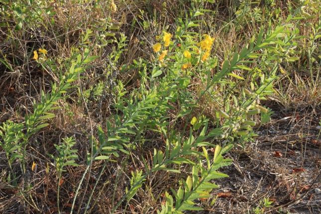 Crotalaria spectabilis Jan1