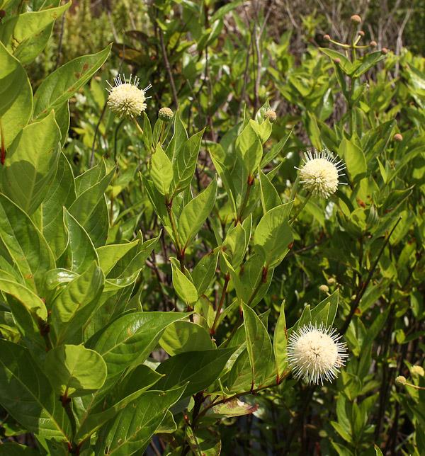Cephalanthus occidentalis 1 medium jb