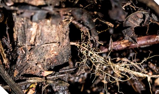 Cephalanthus root