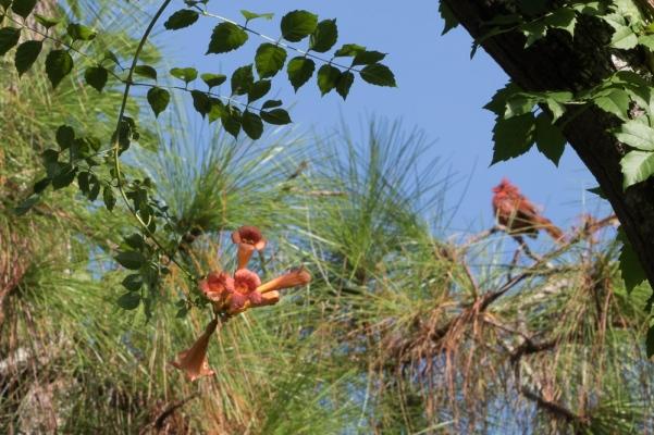 Campsis radicans 7 cardinal - Copy - Copy