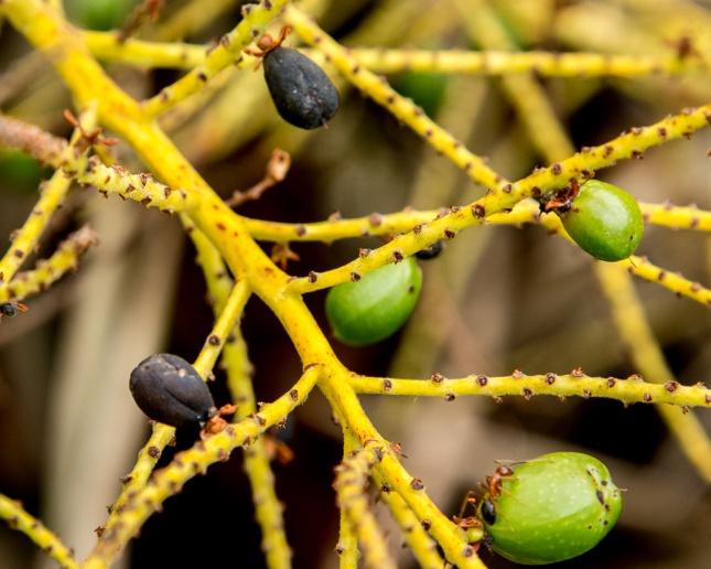 serenoa-repens-11-fruit-copy