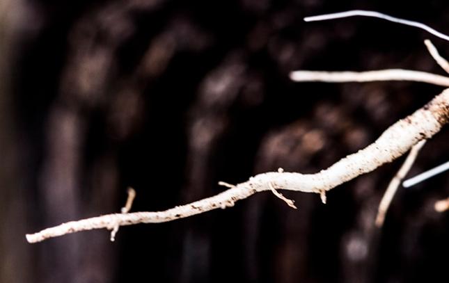 spigelia-root