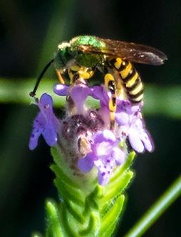 piloblephis-agapostemon-splendens-cropped