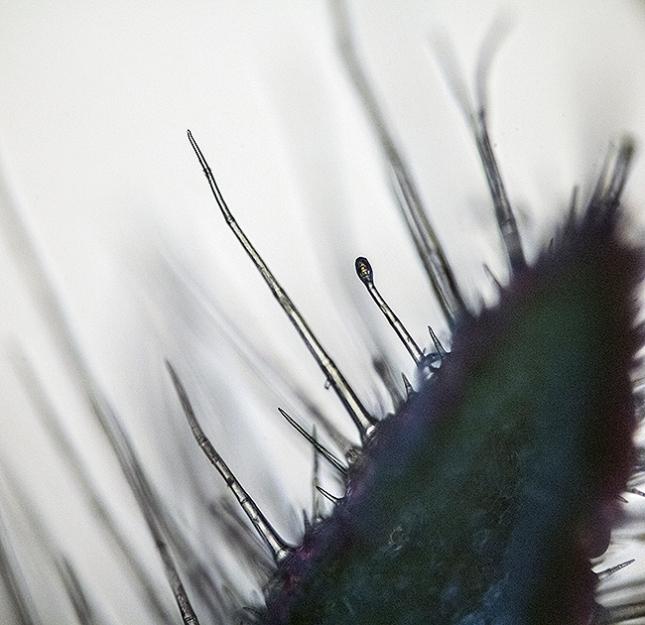 piloblephis-hairs3