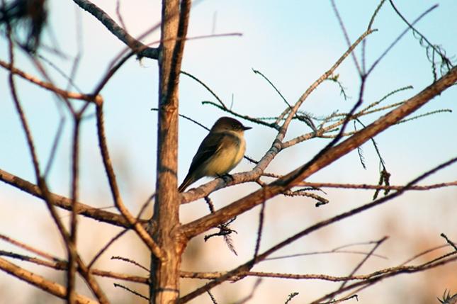 plump-bird