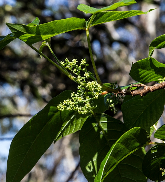 toxicodendron-radicans-flowers