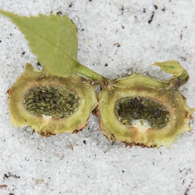 carya-floridana-15