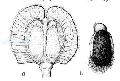 Po;ygala rhinanthoides Fl Malesiana