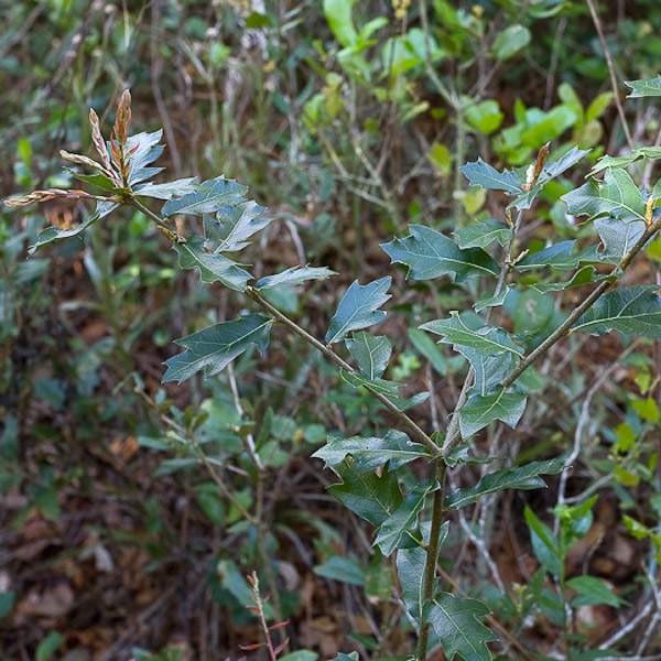 Quercus minima hybrid