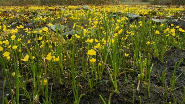 Utricularia subulata 10