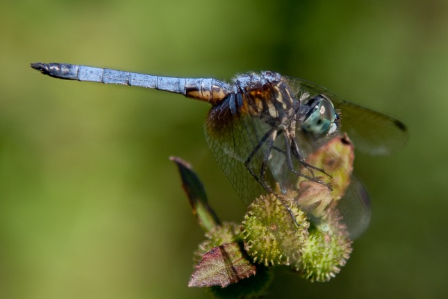 Blue-eyed Darner Dragonfly 1