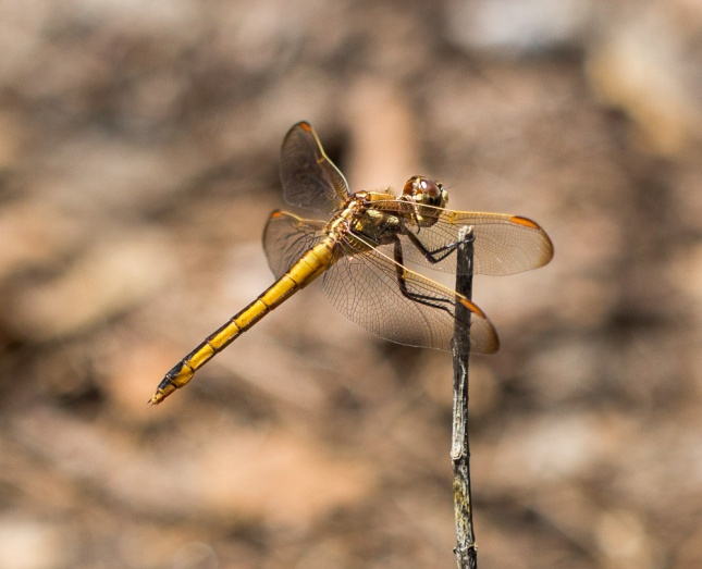 Golden-winged Skimmer Dradonfly
