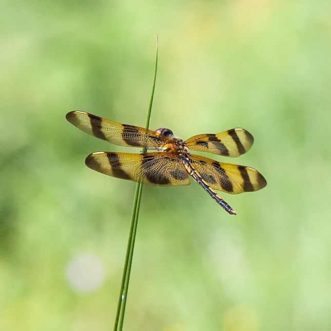 Halloween Pennant Dragonfly 1 (1)