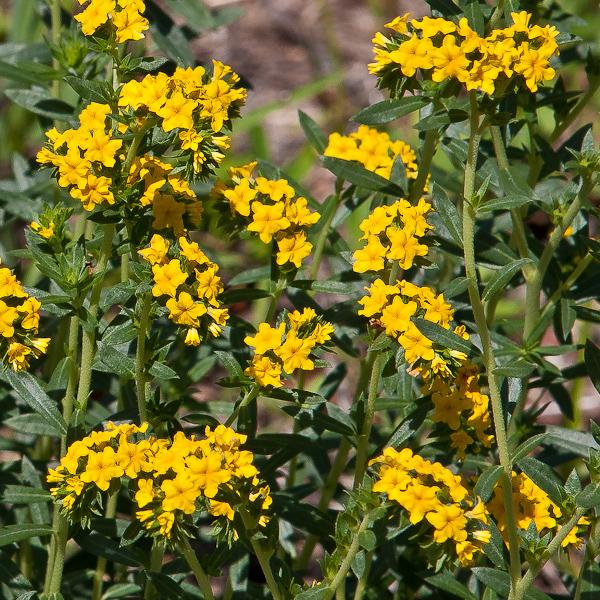 Heliotropium polyphyllum 7