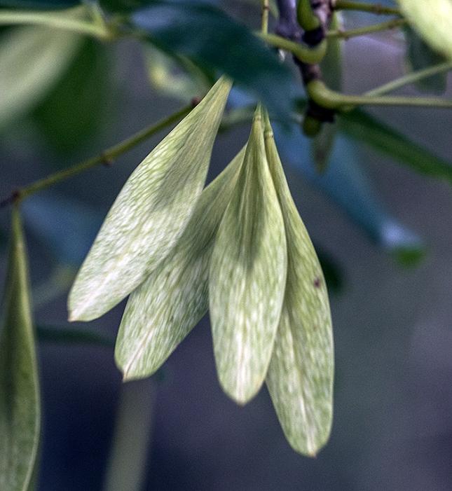 FRaxinus caeoiniana samaras