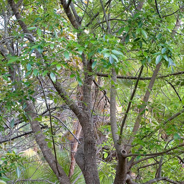 Fraxinus caroliniana 1