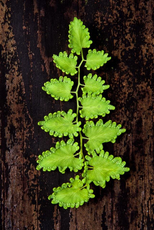 Lygodium microphyllum 5