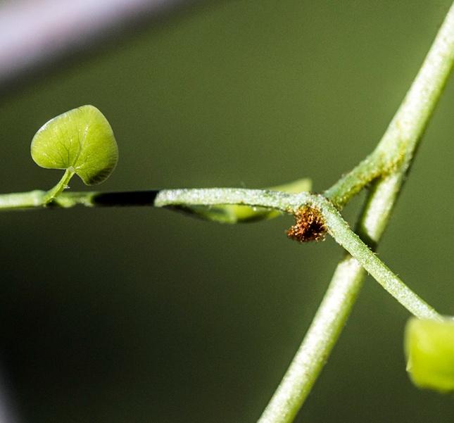 Lygodium microphyllum bud