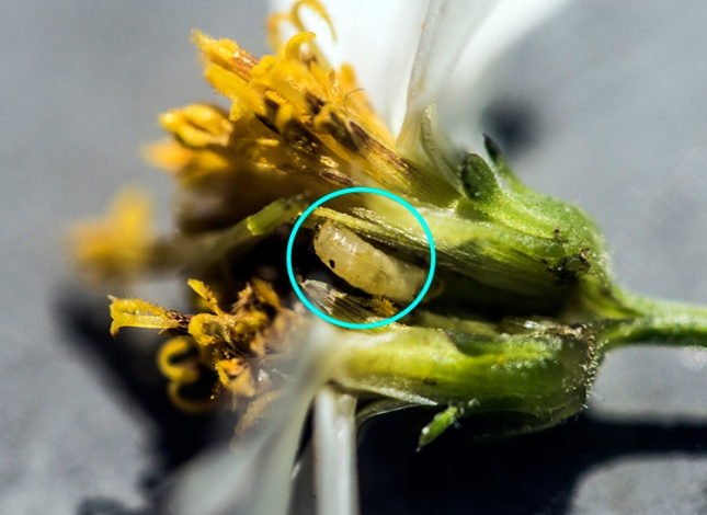 Bidens alba with larva circled